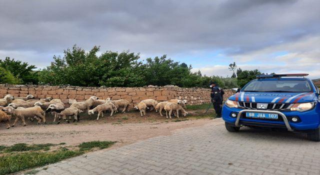 Kayıp Koyunlara Jandarmada Operasyonu