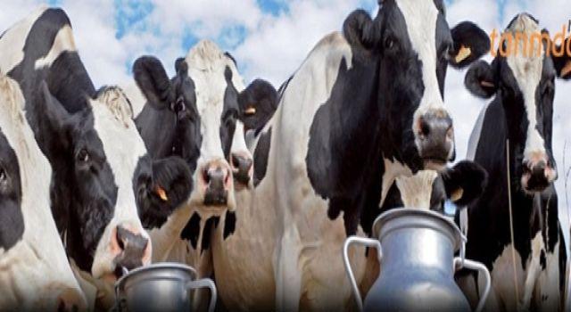 Süt Üretimi de Zararı da Artıyor