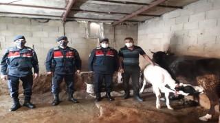 Jandarma Kaybolan Hayvanları Termal İHA ile Buldu